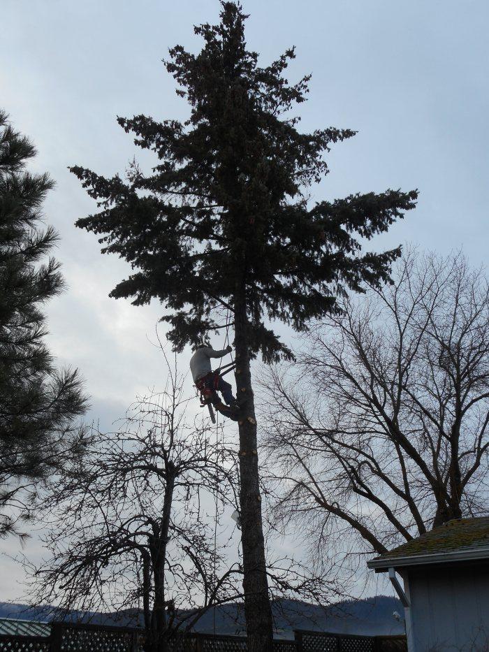 tree limbing